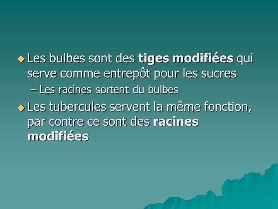 Les bulbes sont des tiges modifiées qui serve comme entrepôt pour les sucres Les bulbes sont des tiges modifiées qui serve comme entrepôt pour les suc
