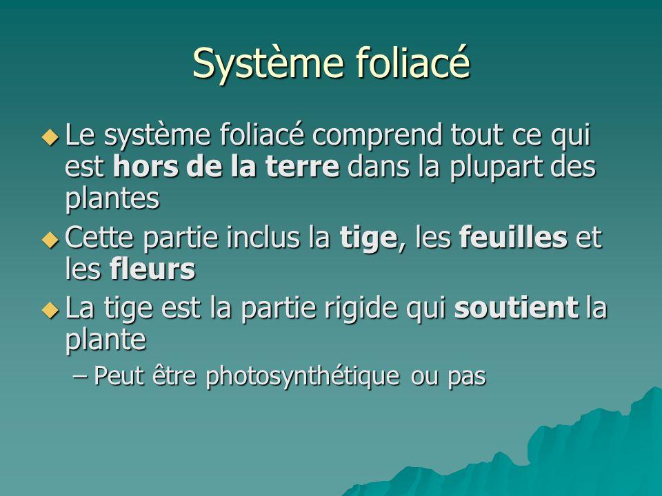 Système foliacé Le système foliacé comprend tout ce qui est hors de la terre dans la plupart des plantes Le système foliacé comprend tout ce qui est h