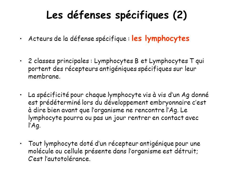 Les défenses spécifiques (2) Acteurs de la défense spécifique : les lymphocytes 2 classes principales : Lymphocytes B et Lymphocytes T qui portent des