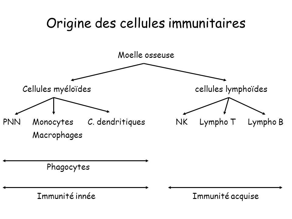 Origine des cellules immunitaires Moelle osseuse Cellules myéloïdes cellules lymphoïdes PNN Monocytes C. dendritiques NK Lympho T Lympho B Macrophages