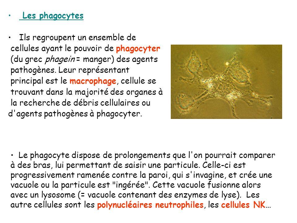 Les phagocytes Ils regroupent un ensemble de cellules ayant le pouvoir de phagocyter (du grec phagein = manger) des agents pathogènes. Leur représenta