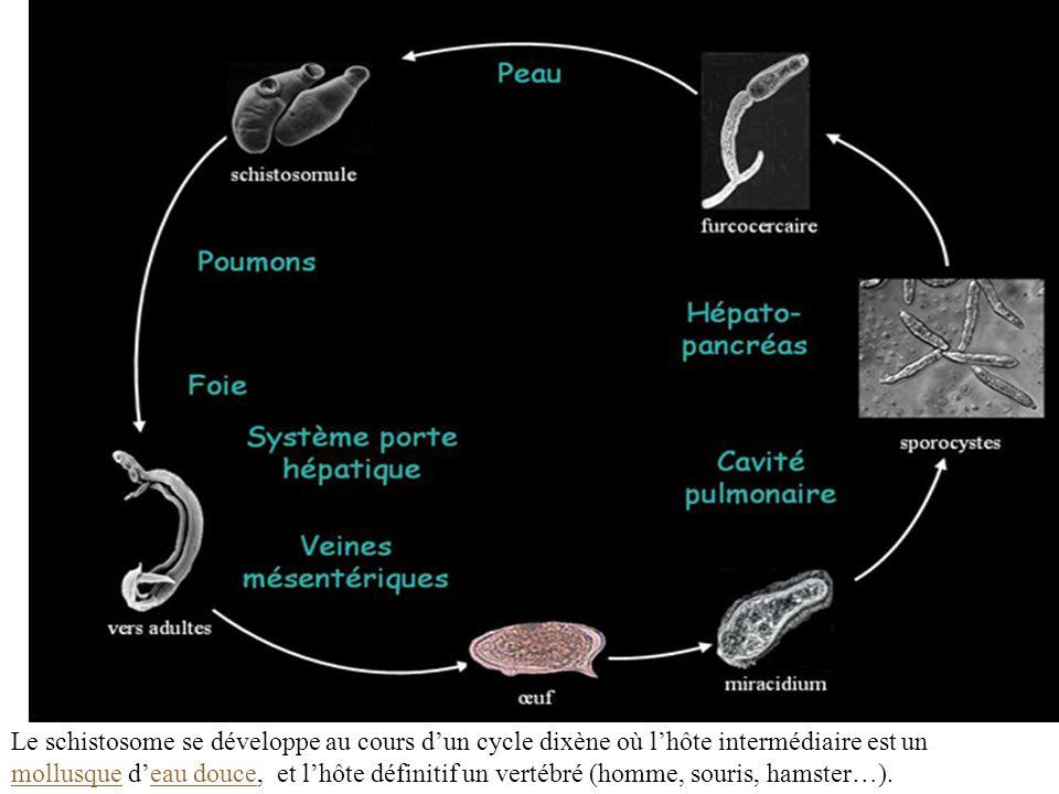 Le schistosome se développe au cours dun cycle dixène où lhôte intermédiaire est un mollusque deau douce, et lhôte définitif un vertébré (homme, souri