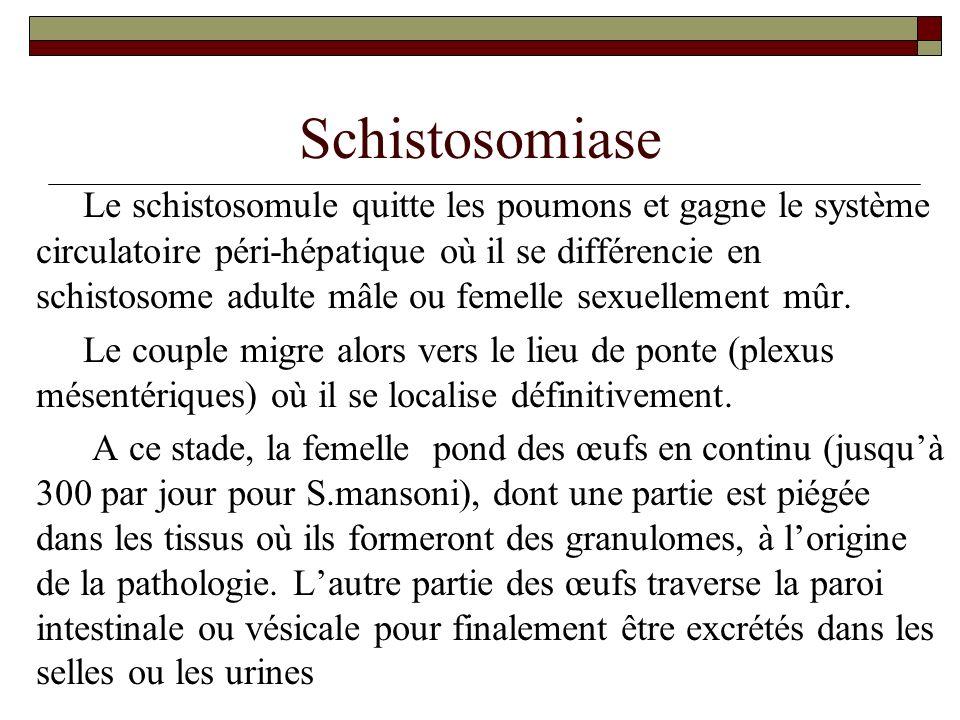Schistosomiase Le schistosomule quitte les poumons et gagne le système circulatoire péri-hépatique où il se différencie en schistosome adulte mâle ou