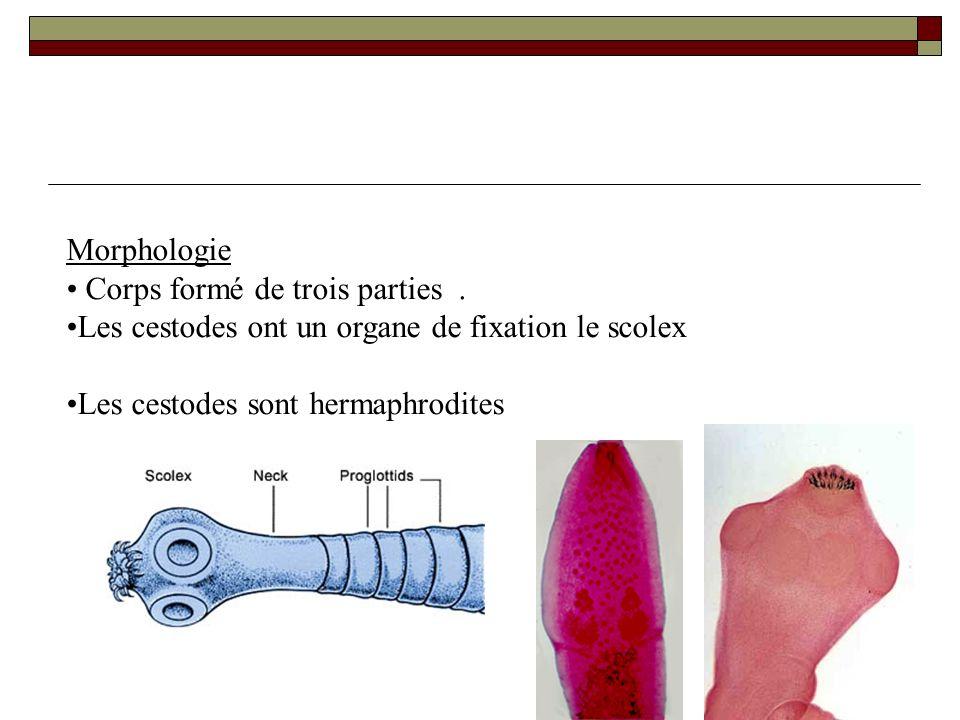 Morphologie Corps formé de trois parties. Les cestodes ont un organe de fixation le scolex Les cestodes sont hermaphrodites