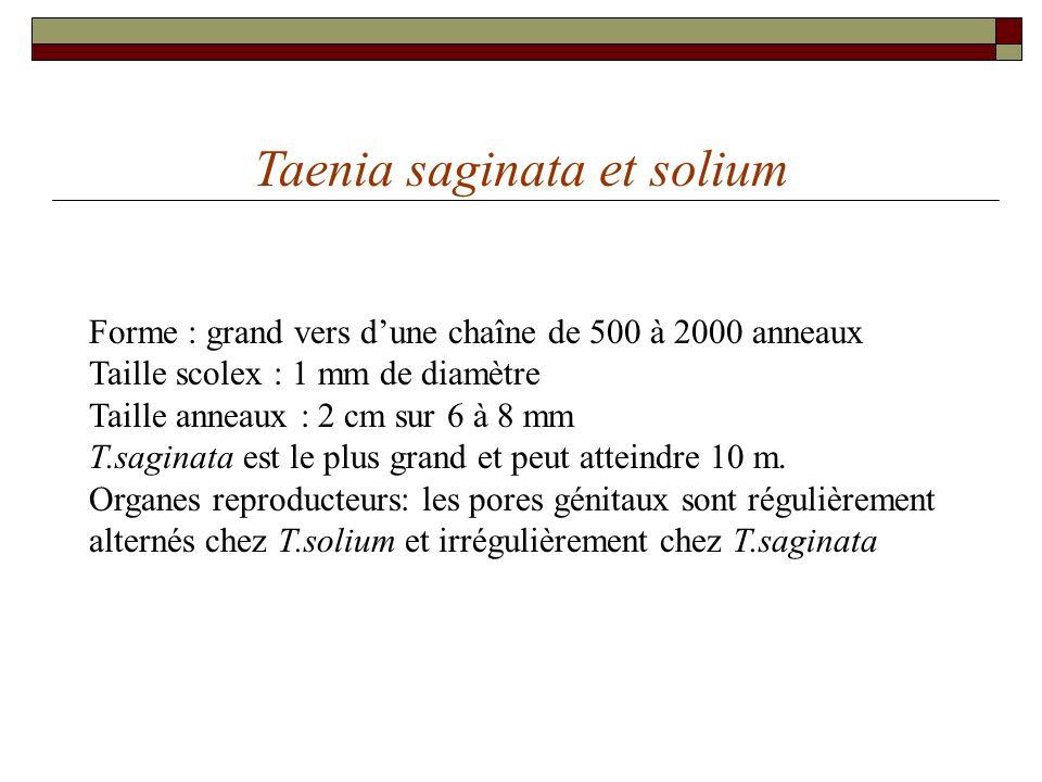 Taenia saginata et solium Forme : grand vers dune chaîne de 500 à 2000 anneaux Taille scolex : 1 mm de diamètre Taille anneaux : 2 cm sur 6 à 8 mm T.s