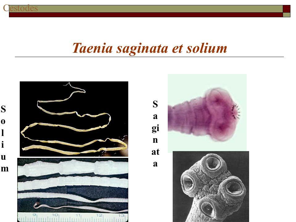 Cestodes Taenia saginata et solium SoliumSolium S a gi n at a