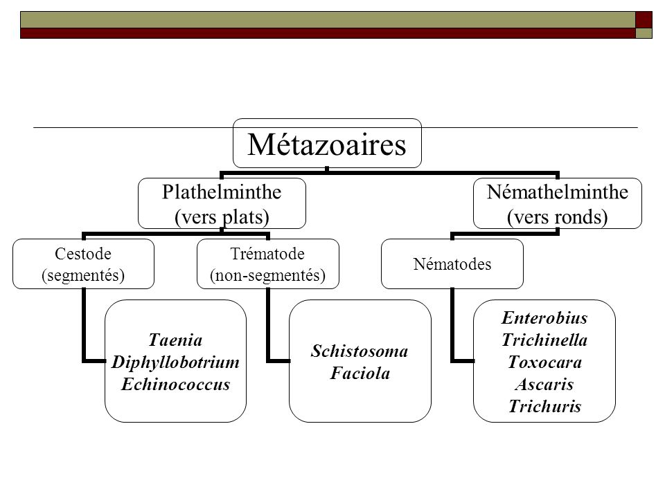 Métazoaires Plathelminthe (vers plats) Cestode (segmentés) Taenia Diphyllobotrium Echinococcus Trématode (non-segmentés) Schistosoma Faciola Némathelm