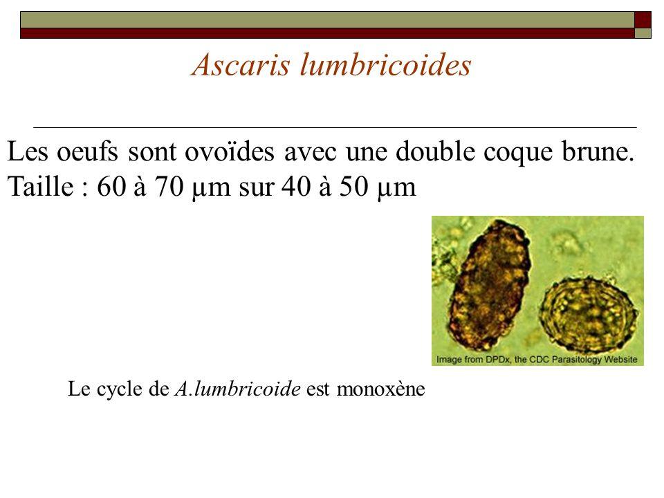 Ascaris lumbricoides Les oeufs sont ovoïdes avec une double coque brune. Taille : 60 à 70 µm sur 40 à 50 µm Le cycle de A.lumbricoide est monoxène