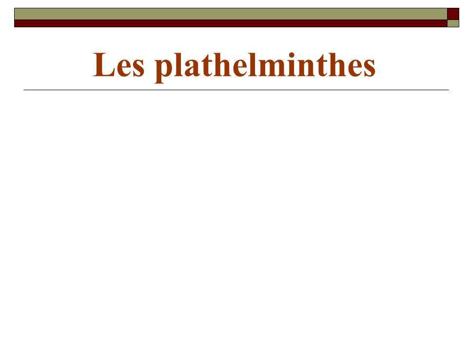 Les plathelminthes sont des vers plats à cuticule fragile et dépourvue de chitine.