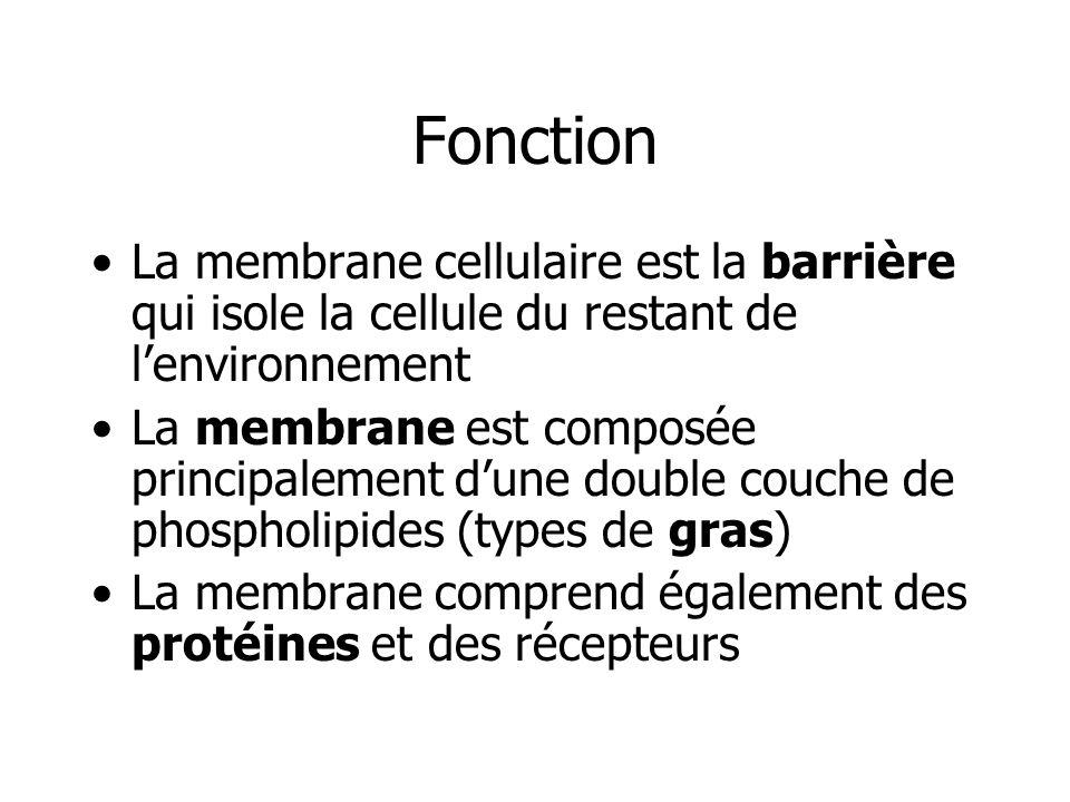 Fonction La membrane cellulaire est la barrière qui isole la cellule du restant de lenvironnement La membrane est composée principalement dune double