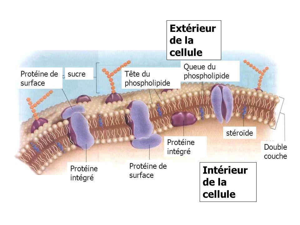 Protéine intégré Extérieur de la cellule Protéine intégré Intérieur de la cellule Protéine de surface sucre stéroïde Double couche Tête du phospholipi