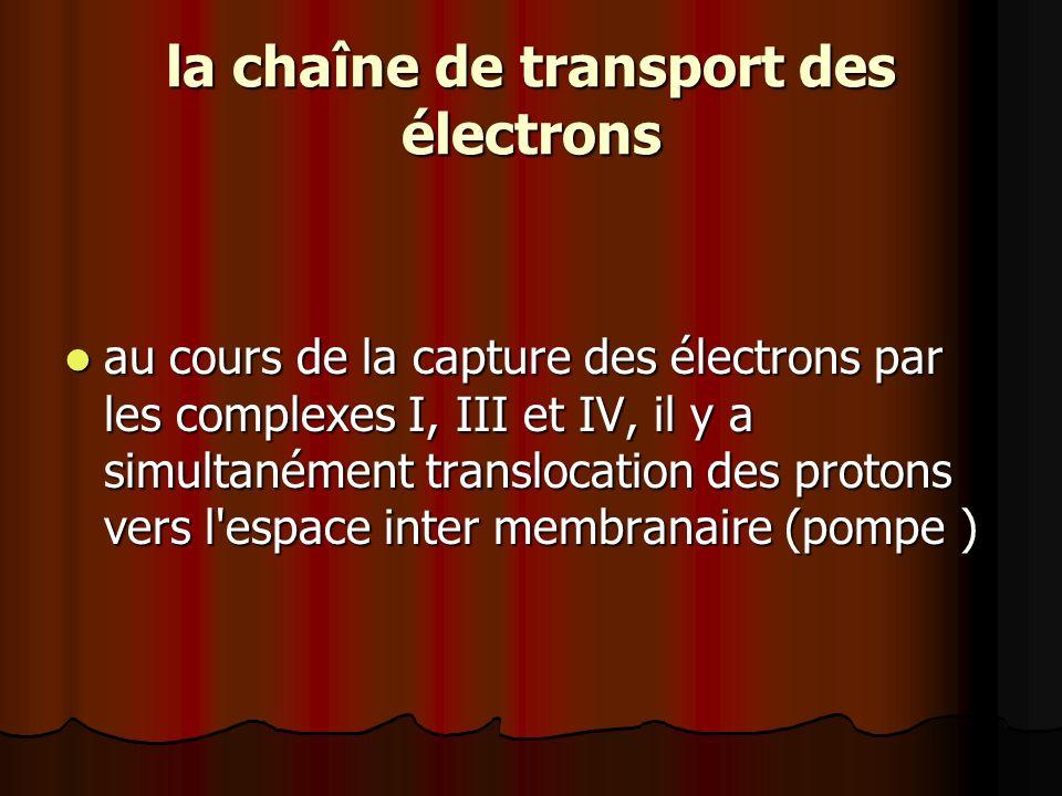 la chaîne de transport des électrons au cours de la capture des électrons par les complexes I, III et IV, il y a simultanément translocation des proto