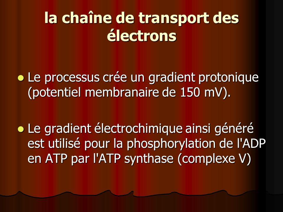 la chaîne de transport des électrons Le processus crée un gradient protonique (potentiel membranaire de 150 mV). Le processus crée un gradient protoni