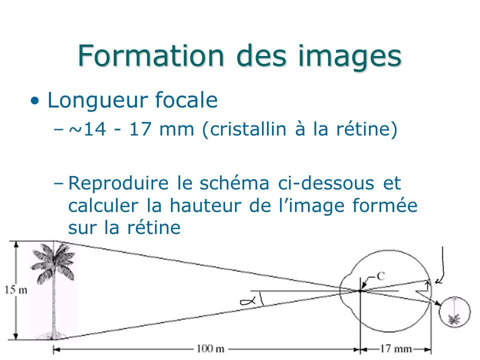 Formation des images Longueur focale –~14 - 17 mm (cristallin à la rétine) –Reproduire le schéma ci-dessous et calculer la hauteur de limage formée sur la rétine