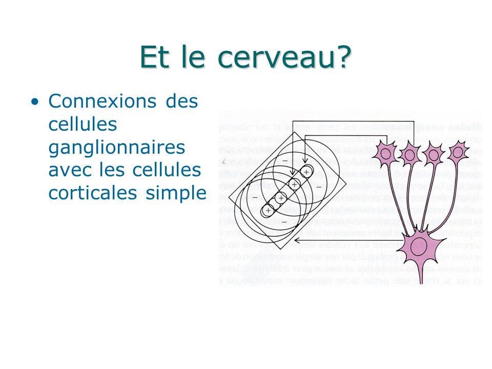 Et le cerveau? Connexions des cellules ganglionnaires avec les cellules corticales simple