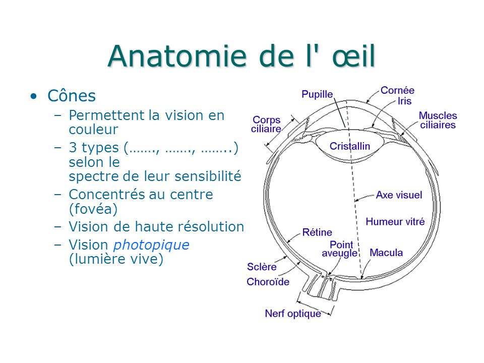 Anatomie de l œil Cônes –Permettent la vision en couleur –3 types (……., ……., ……..) selon le spectre de leur sensibilité –Concentrés au centre (fovéa) –Vision de haute résolution –Vision photopique (lumière vive)