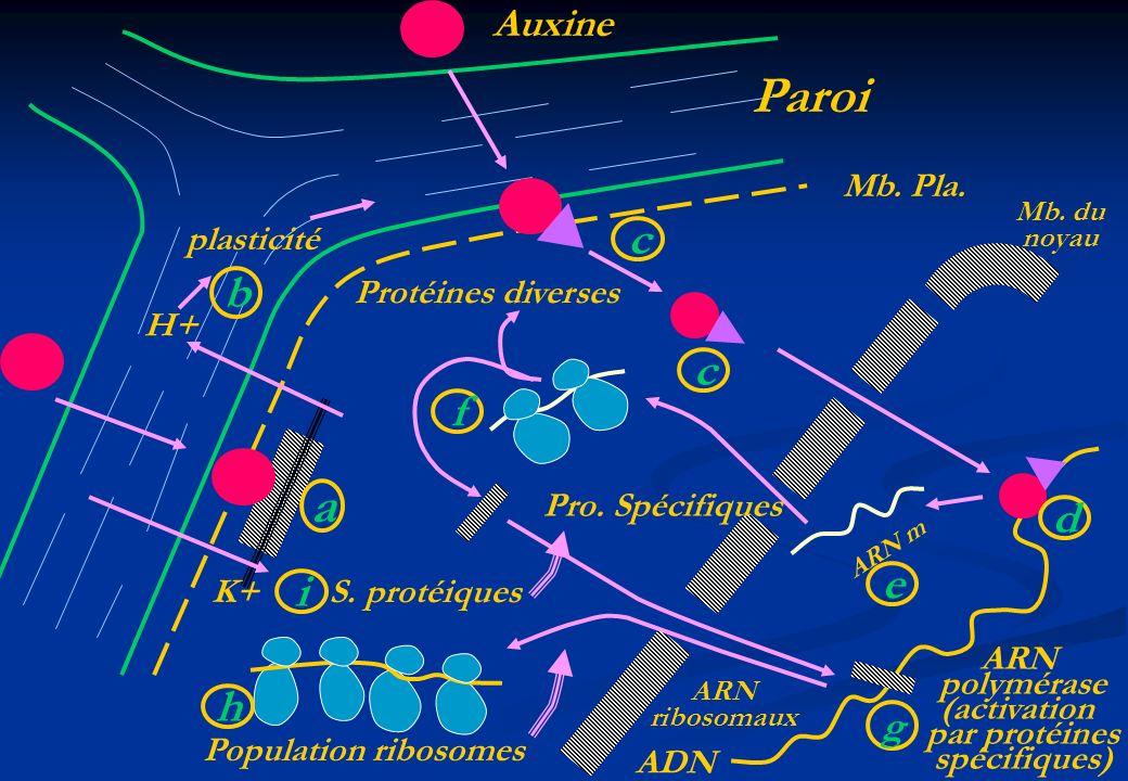 H+ K+ plasticité ARN m ARN polymérase (activation par protéines spécifiques) ADN Mb. Pla. Paroi Auxine ARN ribosomaux Population ribosomes S. protéiqu