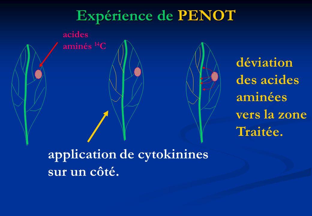 Expérience de PENOT acides aminés 14 C application de cytokinines sur un côté. déviation des acides aminées vers la zone Traitée.