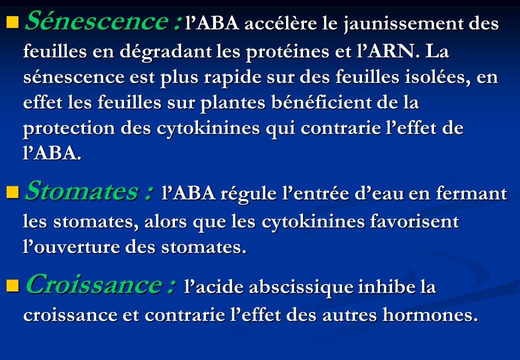 Sénescence : lABA accélère le jaunissement des feuilles en dégradant les protéines et lARN. La sénescence est plus rapide sur des feuilles isolées, en