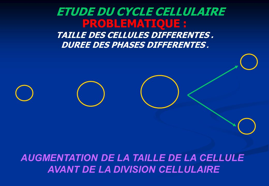 ETUDE DU CYCLE CELLULAIRE PROBLEMATIQUE : TAILLE DES CELLULES DIFFERENTES. DUREE DES PHASES DIFFERENTES. AUGMENTATION DE LA TAILLE DE LA CELLULE AVANT