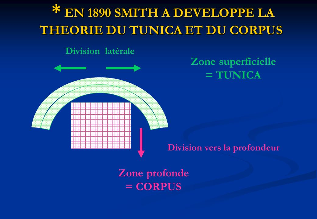 * EN 1890 SMITH A DEVELOPPE LA THEORIE DU TUNICA ET DU CORPUS * EN 1890 SMITH A DEVELOPPE LA THEORIE DU TUNICA ET DU CORPUS Zone superficielle = TUNIC