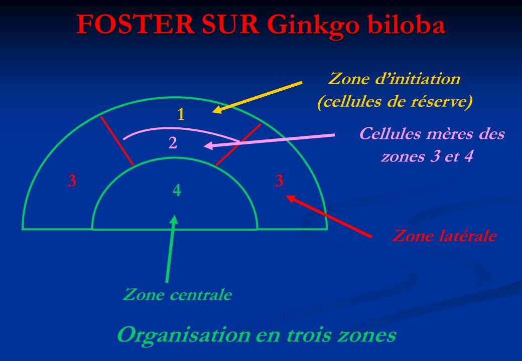 FOSTER SUR Ginkgo biloba 1 2 33 4 Zone dinitiation (cellules de réserve) Cellules mères des zones 3 et 4 Zone latérale Zone centrale Organisation en t