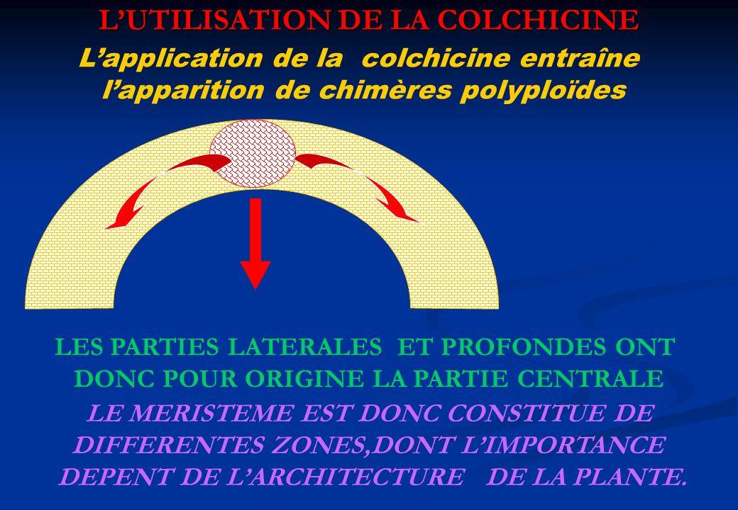 LUTILISATION DE LA COLCHICINE Lapplication de la colchicine entraîne lapparition de chimères polyploïdes LES PARTIES LATERALES ET PROFONDES ONT DONC P