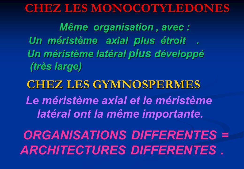 CHEZ LES MONOCOTYLEDONES CHEZ LES GYMNOSPERMES CHEZ LES GYMNOSPERMES Même organisation, avec : Un méristème axial p lus étroit. Un méristème latéral p