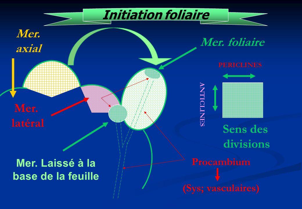 Initiation foliaire Mer. foliaire Sens des divisions Mer. axial Procambium (Sys; vasculaires) Mer. latéral Mer. Laissé à la base de la feuille PERICLI