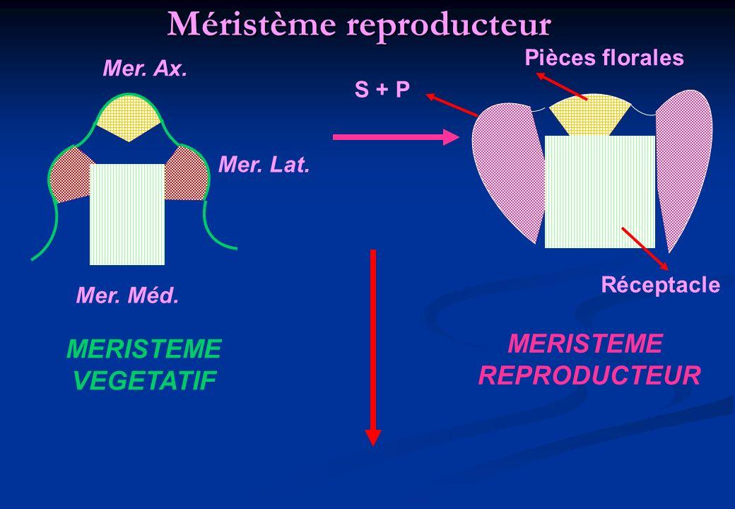 Méristème reproducteur Mer. Ax. Mer. Lat. Mer. Méd. MERISTEME VEGETATIF S + P Pièces florales Réceptacle MERISTEME REPRODUCTEUR