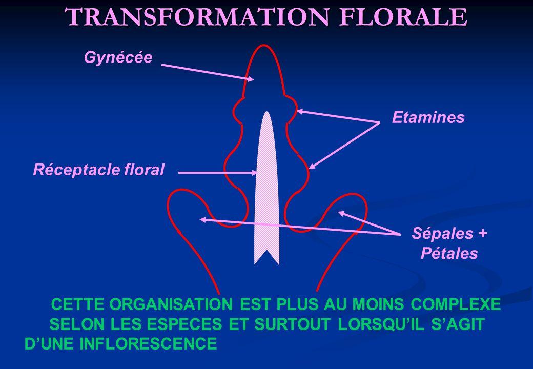 TRANSFORMATION FLORALE Gynécée Etamines Réceptacle floral Sépales + Pétales CETTE ORGANISATION EST PLUS AU MOINS COMPLEXE SELON LES ESPECES ET SURTOUT