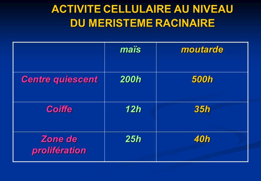 ACTIVITE CELLULAIRE AU NIVEAU DU MERISTEME RACINAIRE maïsmoutarde Centre quiescent 200h500h Coiffe 12h 12h35h Zone de prolifération 25h 25h40h