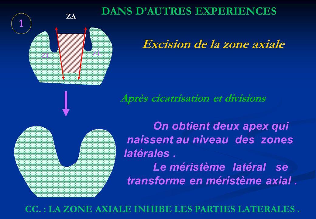 1 ZL ZA Excision de la zone axiale Après cicatrisation et divisions On obtient deux apex qui naissent au niveau des zones latérales. Le méristème laté