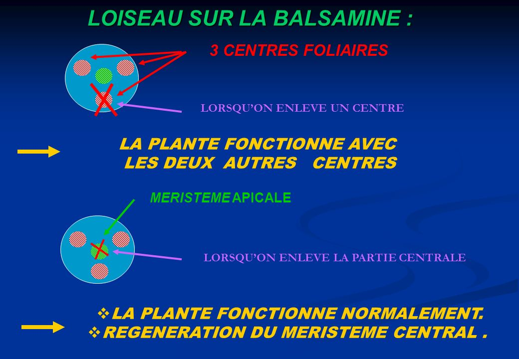 LOISEAU SUR LA BALSAMINE : 3 CENTRES FOLIAIRES LORSQUON ENLEVE UN CENTRE LA PLANTE FONCTIONNE AVEC LES DEUX AUTRES CENTRES MERISTEME APICALE LORSQUON