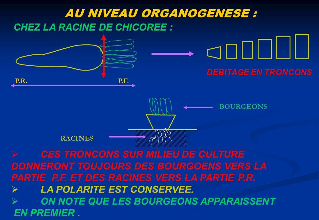 AU NIVEAU ORGANOGENESE : CHEZ LA RACINE DE CHICOREE : P.R.P.F. DEBITAGE EN TRONCONS BOURGEONS RACINES CES TRONCONS SUR MILIEU DE CULTURE DONNERONT TOU