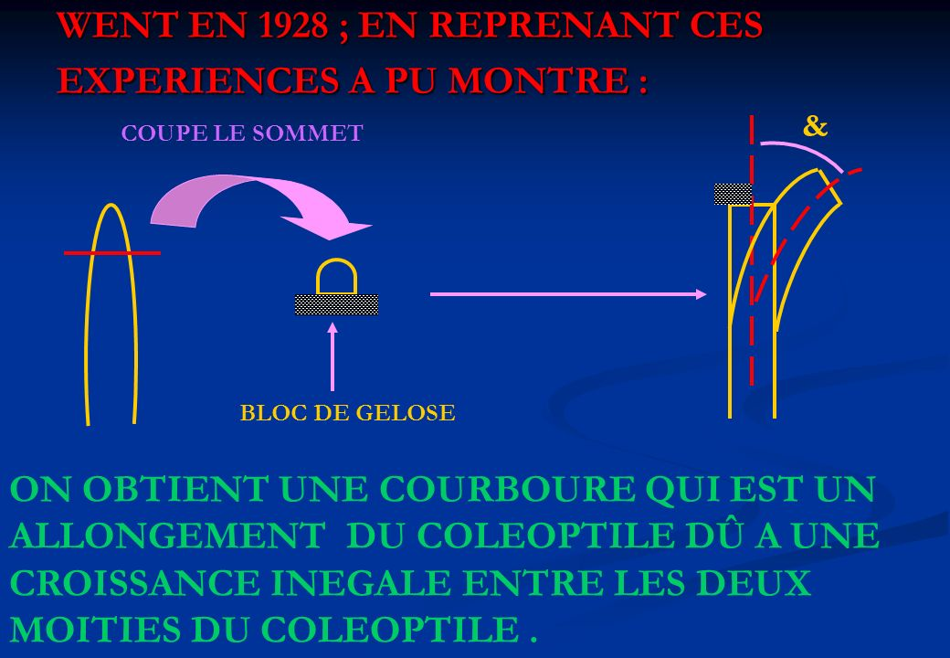 WENT EN 1928 ; EN REPRENANT CES EXPERIENCES A PU MONTRE : COUPE LE SOMMET BLOC DE GELOSE & ON OBTIENT UNE COURBOURE QUI EST UN ALLONGEMENT DU COLEOPTI
