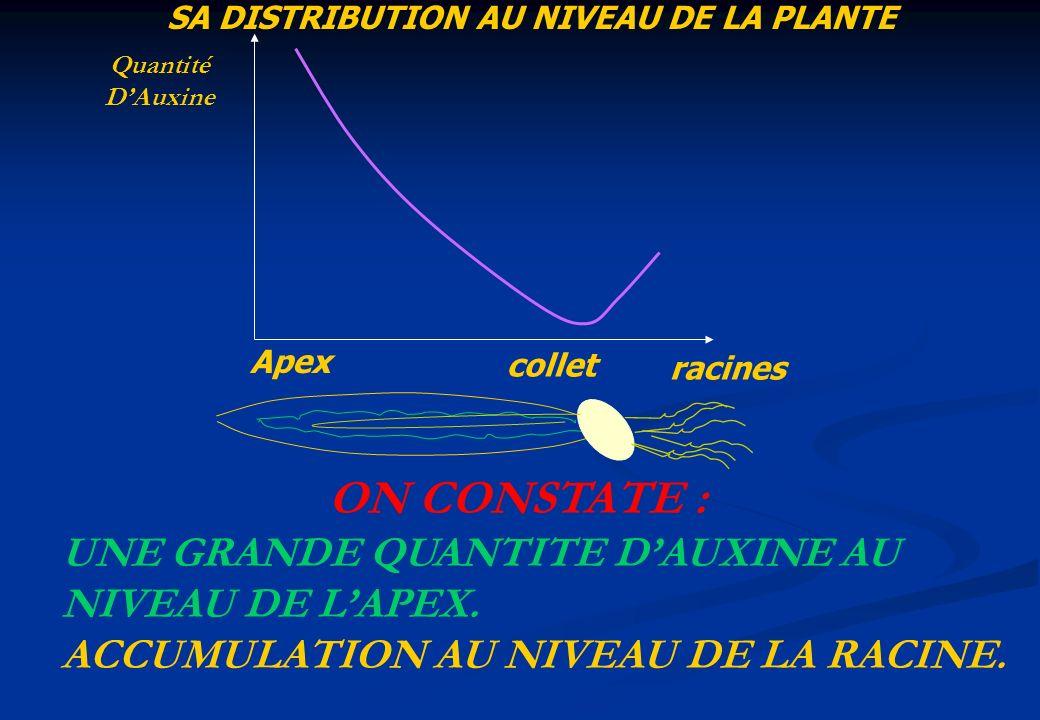 SA DISTRIBUTION AU NIVEAU DE LA PLANTE Apex collet racines ON CONSTATE : UNE GRANDE QUANTITE DAUXINE AU NIVEAU DE LAPEX. ACCUMULATION AU NIVEAU DE LA