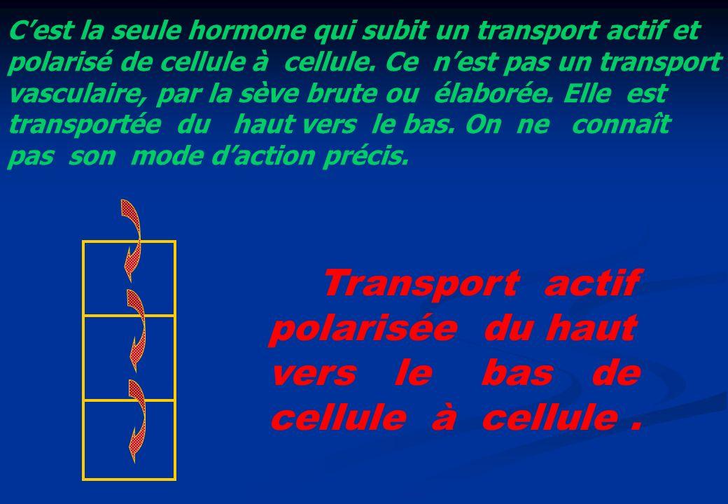 Cest la seule hormone qui subit un transport actif et polarisé de cellule à cellule. Ce nest pas un transport vasculaire, par la sève brute ou élaboré