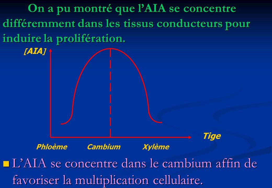 On a pu montré que lAIA se concentre différemment dans les tissus conducteurs pour induire la prolifération. Phloème Cambium Xylème [ AIA ] Tige LAIA