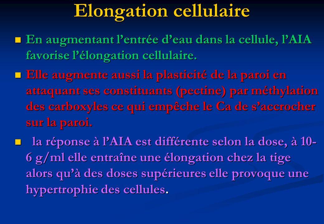 Elongation cellulaire En augmentant lentrée deau dans la cellule, lAIA favorise lélongation cellulaire. En augmentant lentrée deau dans la cellule, lA