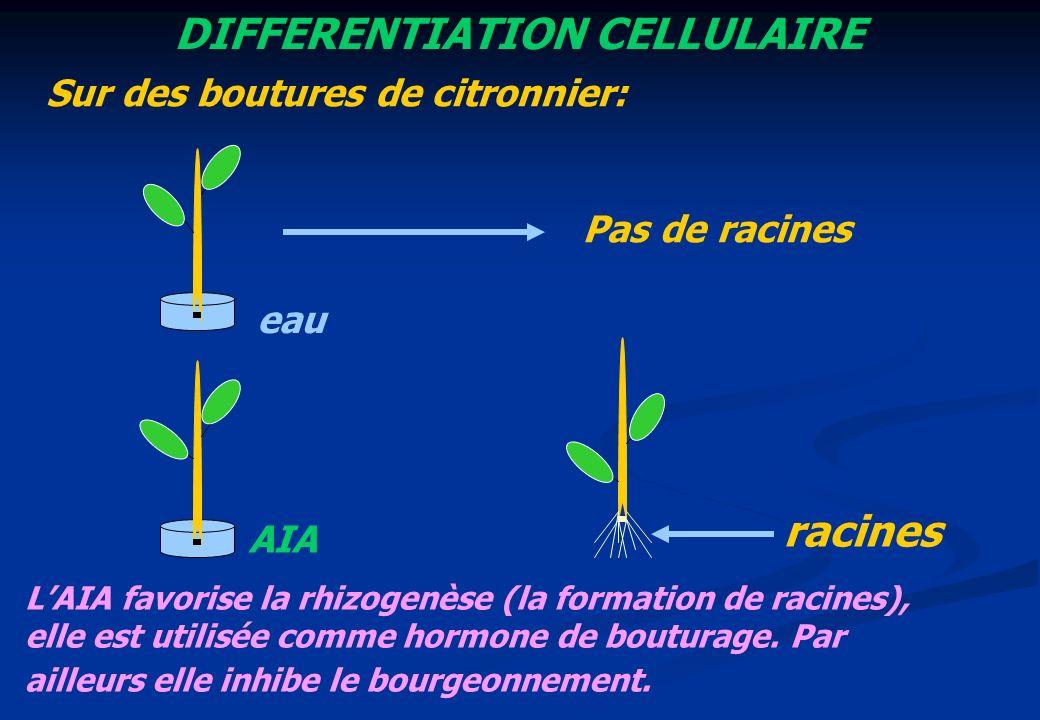 DIFFERENTIATION CELLULAIRE eau AIA Pas de racines racines Sur des boutures de citronnier: LAIA favorise la rhizogenèse (la formation de racines), elle
