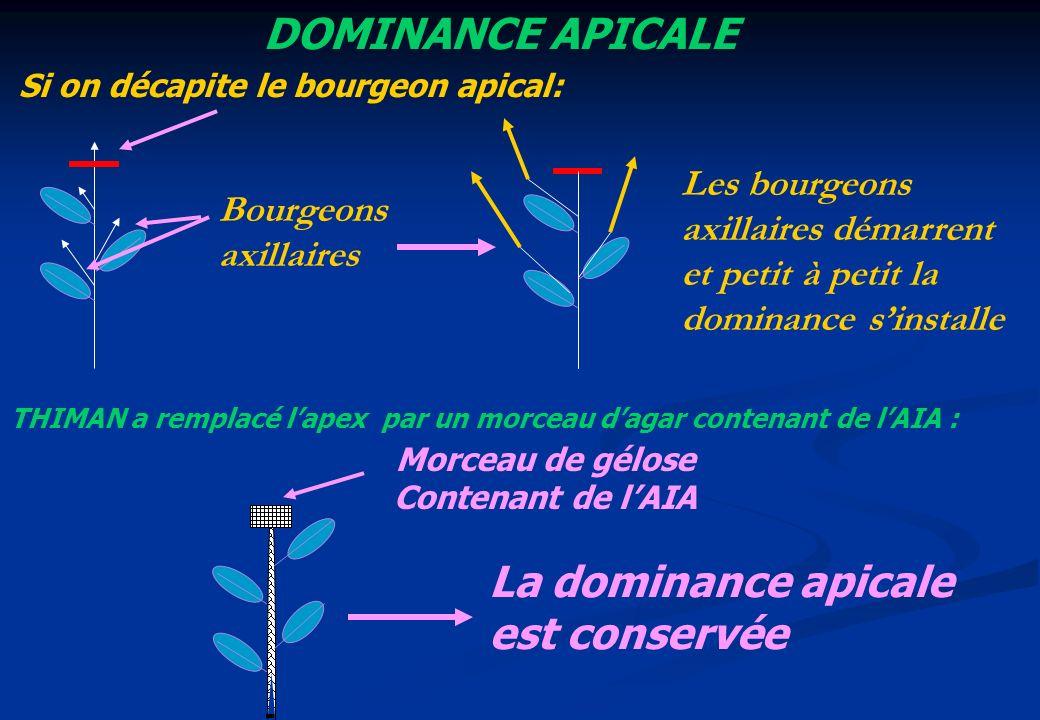 DOMINANCE APICALE Morceau de gélose Contenant de lAIA THIMAN a remplacé lapex par un morceau dagar contenant de lAIA : Si on décapite le bourgeon apic