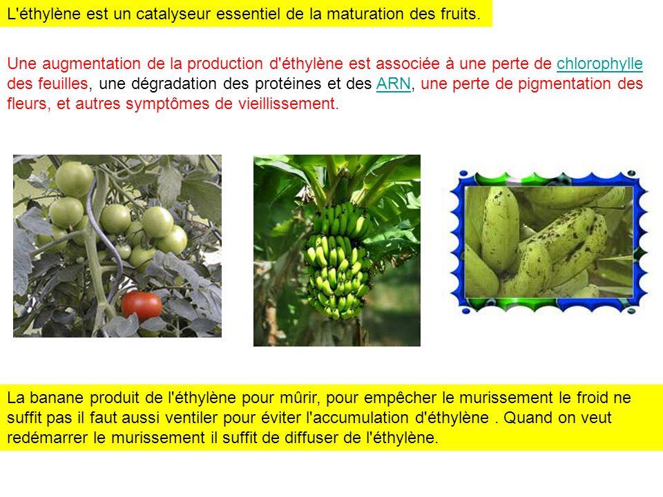 L'éthylène est un catalyseur essentiel de la maturation des fruits. Une augmentation de la production d'éthylène est associée à une perte de chlorophy