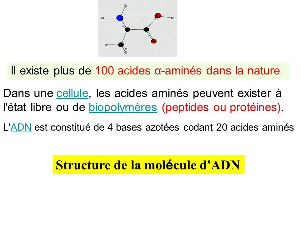 Il existe plus de 100 acides α-aminés dans la nature Dans une cellule, les acides aminés peuvent exister à l'état libre ou de biopolymères (peptides o