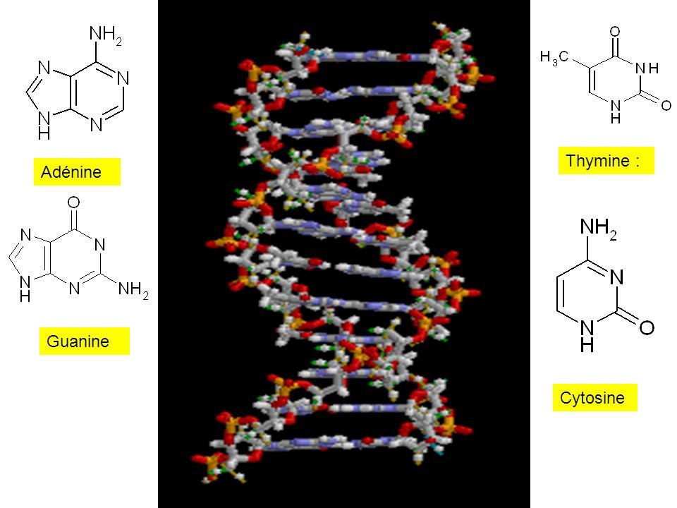 Adénine Guanine Thymine : Cytosine