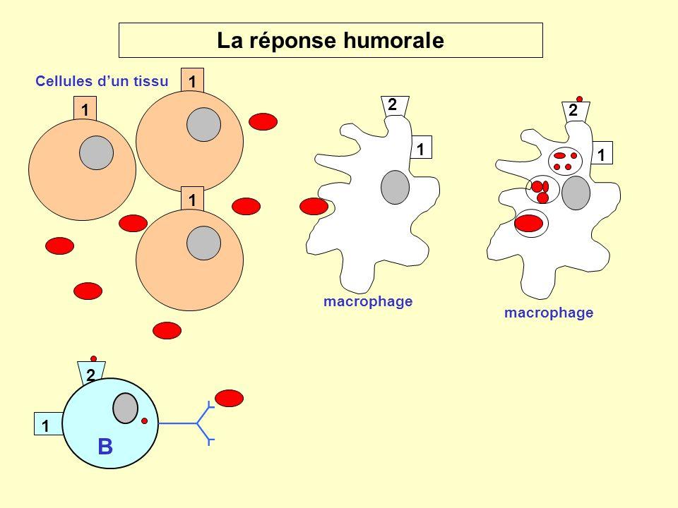 1 2 macrophage La réponse humorale 1 1 1 1 2 B 1 2 macrophage Cellules dun tissu