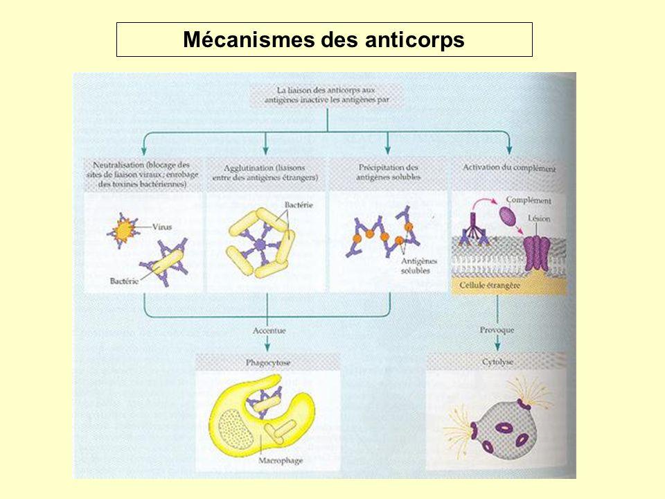 Mécanismes des anticorps