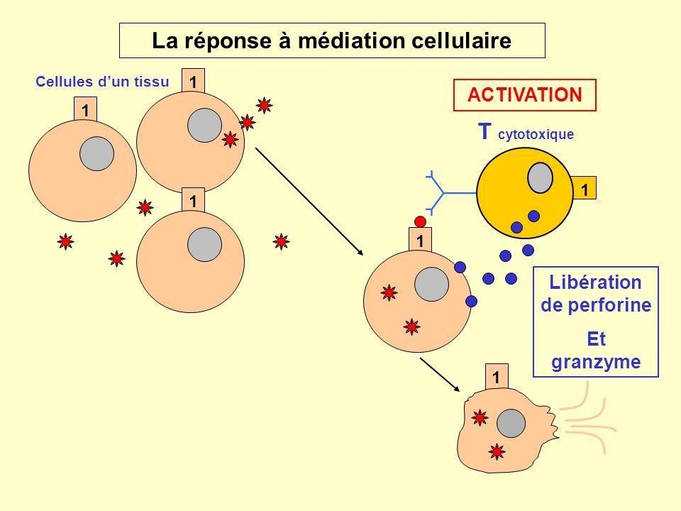 1 2 T auxiliaire B Les cytokines (fig.