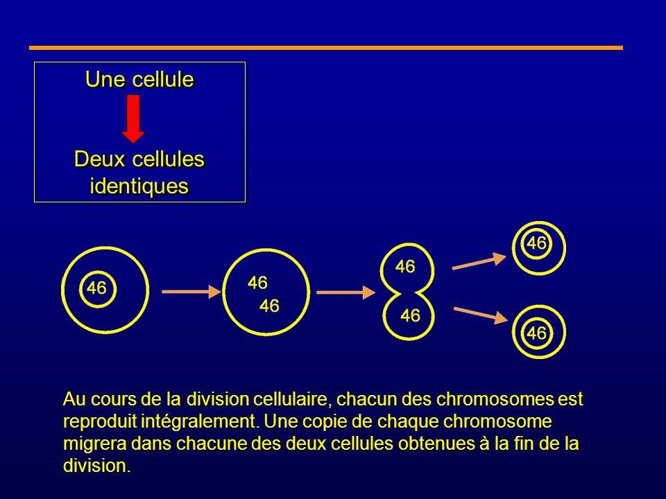 Une cellule Deux cellules identiques Une cellule Deux cellules identiques Au cours de la division cellulaire, chacun des chromosomes est reproduit int