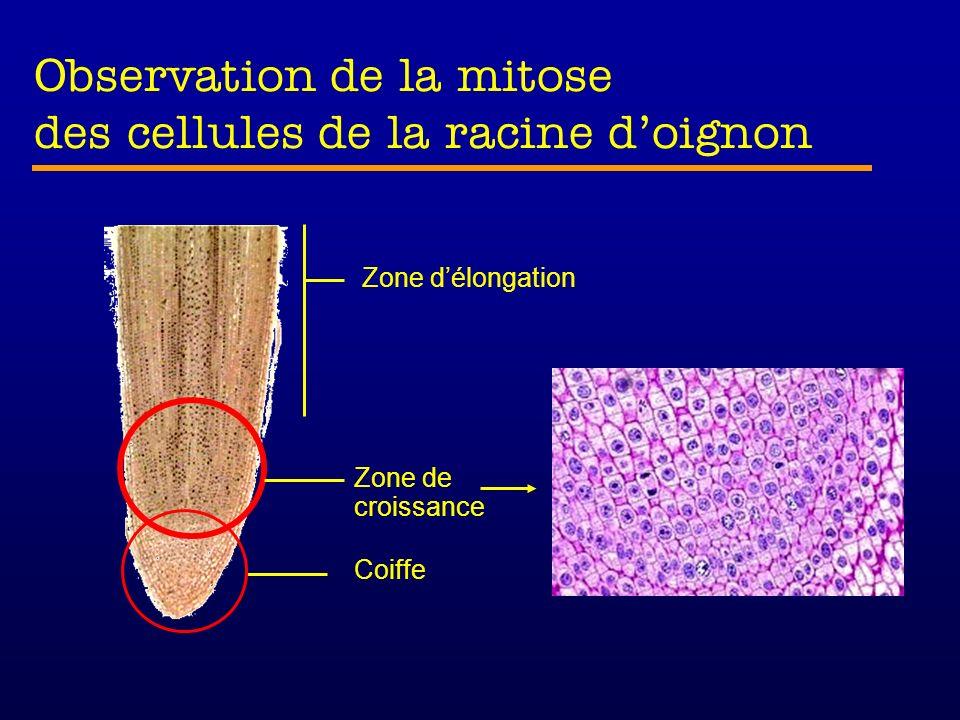 Observation de la mitose des cellules de la racine doignon Zone délongation Zone de croissance Coiffe